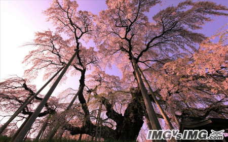 tree forest cherry blossom