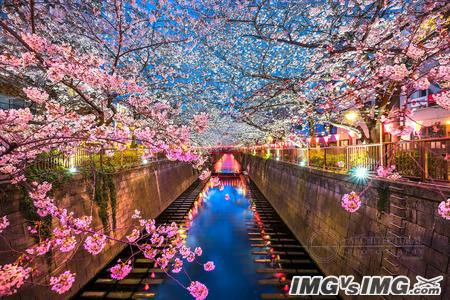 cherry blossom river riverbank reflection